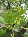 Acer mono (Flower).jpg