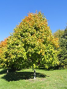 Acer nigrum - University of Kentucky Arboretum - DSC09326.JPG