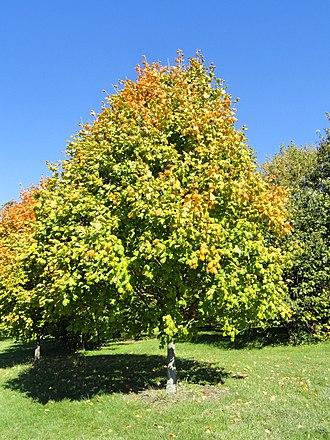 Acer nigrum - Image: Acer nigrum University of Kentucky Arboretum DSC09326