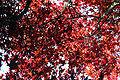 Acer palmatum 'Nuresagi' JPG1.jpg