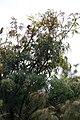 Acer palmatum var. dissectum Seiryu 2zz.jpg