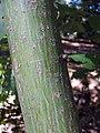 Acer rufinerve 2zz.jpg