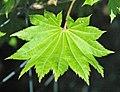 Acer shirasawanum (golden fullmoon maple) 3 (32460775438).jpg