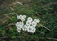 Achillea-ptarmica-flowers