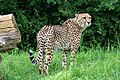 Acinonyx jubatus - Serengeti-Park Hodenhagen 2017 04.jpg