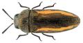 Acmaeodera flavolineata (Laporte & Gory, 1835).png