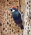 Acorn Woodpecker (33637195891).jpg