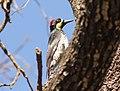 Acorn Woodpeker (San Lucan), San Antonio de la Sierra, Baja California del Sur, Mexico, 1 March 2014 (12921086643).jpg