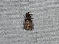 Acrobasis advenella (36732999956).jpg