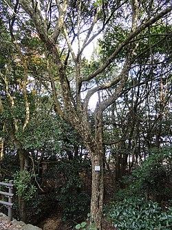 http://upload.wikimedia.org/wikipedia/commons/thumb/3/3a/Actinodaphne_lancifolia_-_Miyajima_Natural_Botanical_Garden_-_DSC02348.JPG/250px-Actinodaphne_lancifolia_-_Miyajima_Natural_Botanical_Garden_-_DSC02348.JPG