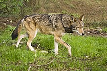 Adult Red Wolf.jpg