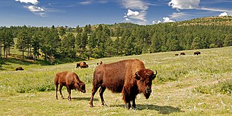 State park - American bison in Custer State Park, South Dakota, USA