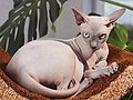Adult cat Sphynx. img 006.jpg