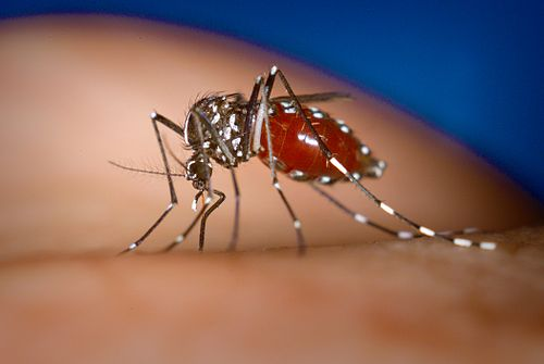 500px Aedes albopictus Monsoon, Mosquitoes, and Chikungunya