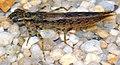 Aeshna cyanea - larva (aka).jpg