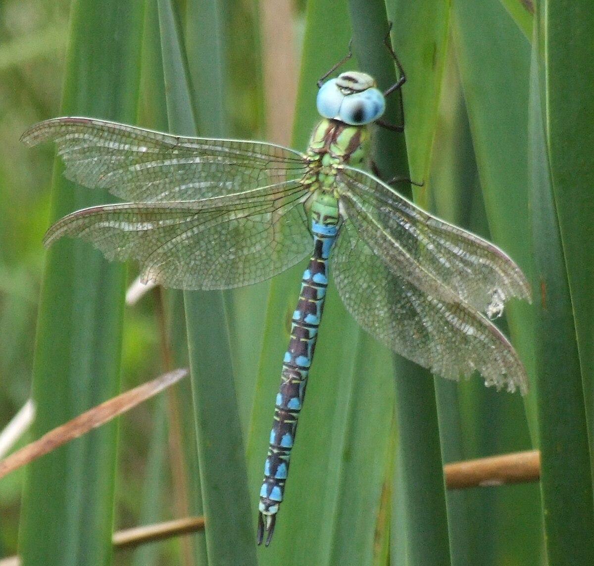 Aeshna viridis male 2534.jpg