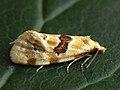 Aethes ?rubigana - Burdock conch (26448851587).jpg