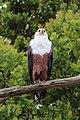 African fish eagle, Lake Saint Lucia estuary 02.jpg