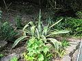 Agave americana cultivar (7170714483).jpg