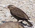 Agelaius phoeniceus -George C Reifel Migratory Bird Sanctuary, British Columbia, Canada -female-8.jpg
