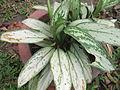 Aglaonema silver queen-1-bsi-yercaud-salem-India.JPG