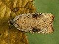 Agonopterix nervosa - Gorse tip moth (26984911068).jpg