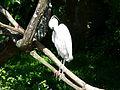 Aigrette garzette Argelès-Gazost parc animalier.JPG