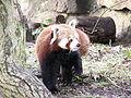 Ailurus fulgens-Edinburgh Zoo.jpg