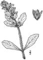 Ajuga genevensis drawing.png