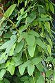 Akebia trifoliata kz1.jpg