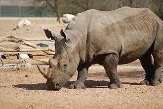 Al Ain Zoo - Image: Al Ain Zoo Rhino
