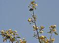 Albizia amara (Krishna Siris) in Hyderabad W IMG 7399.jpg