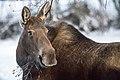 Alces alces, Alaska (41192565522).jpg