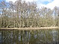 Alders by Little Ouse River - geograph.org.uk - 1740812.jpg