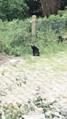 Alien big cat sighting in Varel (Northern Germany).png