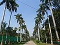 Allahabad, Kusru Bagh 42 - royal palms (39649022981).jpg