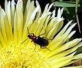 Alleculinae sp.jpg
