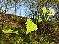 Alliaria petiolata sl8.jpg