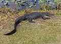 Alligator in Shark Valley^ - panoramio (9).jpg