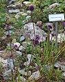 Allium sacculiferum Allium komarovianum GiardinoBotanicoAlpinoViote 20170902 C.jpg