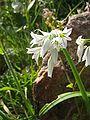 Allium triquetrum.jpg
