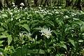 Allium ursinum kz10.jpg
