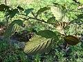 Alnus incana f purpurea Punaharmaaleppä - C DSC02552.JPG