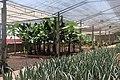 Aloe vera farm Tenerife 5.jpg