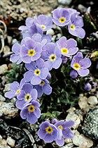 Alpine Forget-Me-Not in Grand Teton NP-NPS.jpg