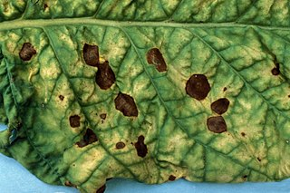 <i>Alternaria alternata</i> Species of fungus