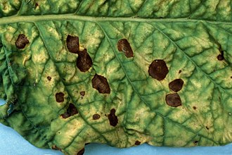 Alternaria alternata - Image: Alternariaalternata
