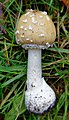 Amanita pantherina (45520409852).jpg