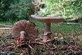 Amanita rubescens (29461462023).jpg