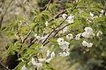 Amayadori, Prunus Lannesiana Wils. 'Amayadori'.JPG